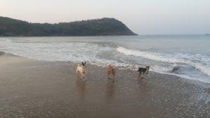 dogs_on_kudlee_beach__gokarna