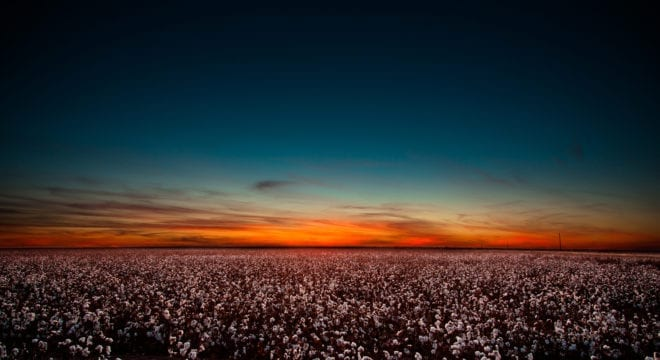 Sunset in West Texas over a large cotton field.